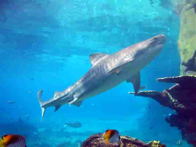 the description of tiger sharks Sand tiger sharks: characteristics cartilage skeleton 5-7 gill slits short ribs possible, never a full rib cage - fusiform in body shape generally.