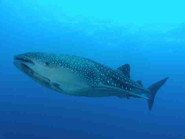 Tiger Sharks Pictures Picture of Tiger Shark